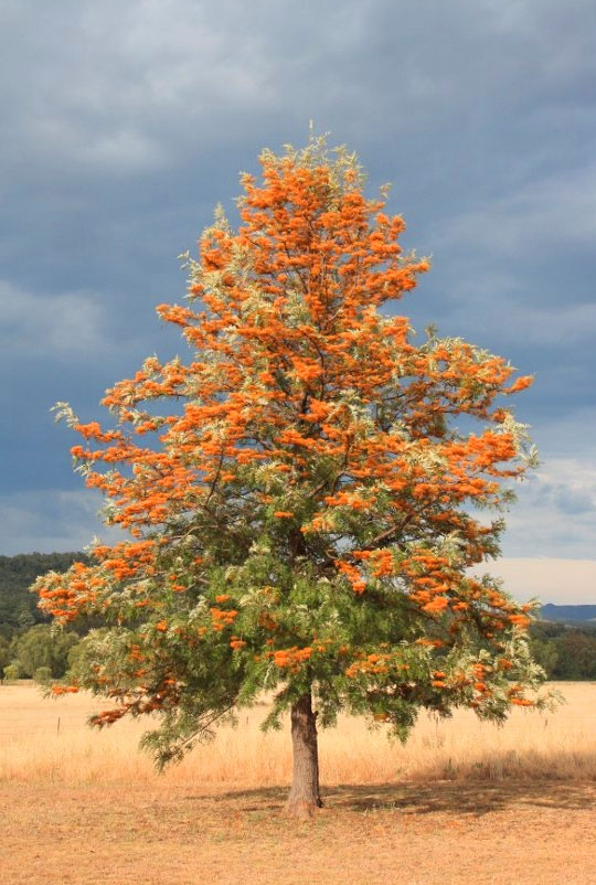 Houtkapper timber of the month - Southern Silky Oak